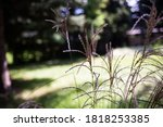 Ornamental Grass  Close Up Wit...