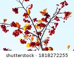 Bright Red Hawthorn Berries And ...