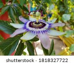 Passion Flower  Also Called...