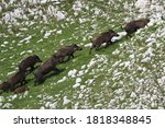 Small photo of Frightened wild boar drove runing on rocky slope
