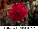 it is red rose beautiful... | Shutterstock . vector #1818388202