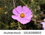the summer pink beautiful... | Shutterstock . vector #1818388805