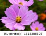 the summer pink beautiful... | Shutterstock . vector #1818388808