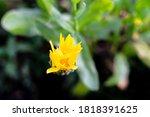 calendula medicinal plant... | Shutterstock . vector #1818391625