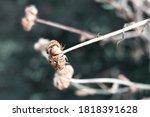 calendula medicinal plant... | Shutterstock . vector #1818391628