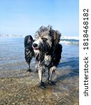 Scruffy Dog Wading In The Ocean