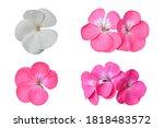 Collection Of Geranium Flower   ...