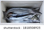 A Group Of Baracuda Fish In Th...