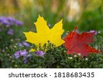 Two Bright Maple Leaves Of...