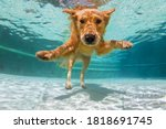 Small photo of Underwater funny photo of golden labrador retriever puppy in swimming pool play with fun - jump, dive deep down. Activities, training classes with family pets. Popular dog breeds on summer vacation