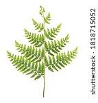 Fern Leaf  Ornamental Foliage ...