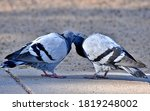 Two Pigeons Showing Affection...