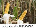 Organic Maize Corn In...