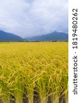 Harvest Of Golden Rice Fields