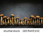 Aureoboletus Projectellus...