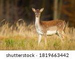 Alert Fallow Deer  Dama Dama ...