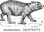 Hyrax Animal  From The...