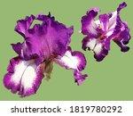 Two Beautiful Graceful Iris...