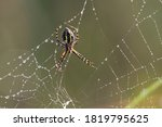 Argiope Trifasciata  The Banded ...