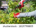 Gardener Pruning Rose Bushes I...