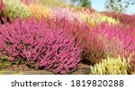 Colorful Heathers And Heaths...
