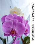 Small photo of Purpure Orchid on the windowsill on a blue background