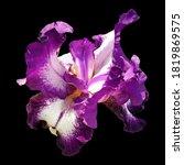 Beautiful Graceful Iris Flower...
