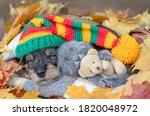 Dachshund Puppy Wearing Warm...