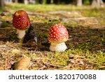 Amanita Fly Agaric Mushrooms In ...