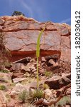 Small photo of Kaibab century plant (agave utahensis var. kaibabensis) on the background of cliffs in Grand Canyon