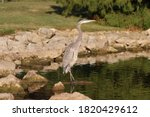 Great Blue Heron Standing At...