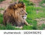 Portrait Of A Male Lion....