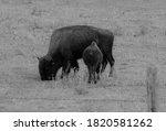 B W Momma Buffalo With Baby...