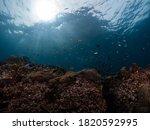 Sea Anemone In Underwater  A...