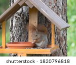 Close Up Cute Red Squirrel ...