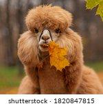 A Ginger Alpaca Chews On A...