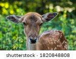 Fallow Roe Deer Forest Animal