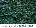 Texture Of The Lilypads For...