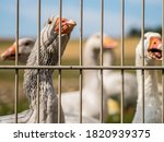 Geese In The Shed And On The...