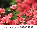 Lots Of Azaleas Blooming In...