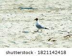Seagull  The Black Headed Gull  ...