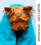 A Small Wet Yorkshire Terrier...