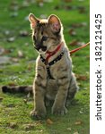 Puma Cub On Leash Portrait  ...