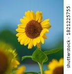 Close Up Of A Sunflower Flower...