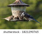 Bluejay And Sparrow On...