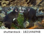 Small photo of Couple of tasmanian devils communicating in tender fight