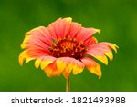 Indian Blanket Flower With...