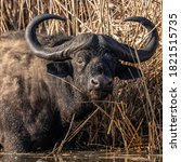 """Small photo of he mighty Buffalo bull. The nickname for the old bull is """"dagga boy"""". So called because the like to wallow in the mud to cool down and rid themselves of ticks."""