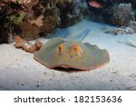 Bluespotted stingray (Taeniura lymma) on the sandy bottom of the red sea - stock photo