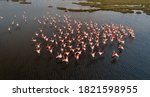 Pink Flamingos In Their Natura...